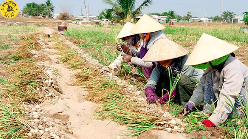 Thu hoạch Tỏi Ninh Thuận